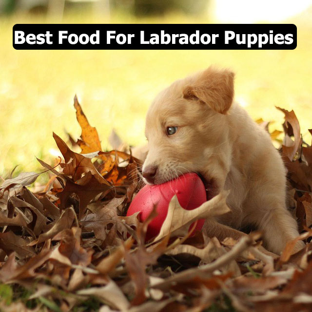 Best Food For Labrador Puppies