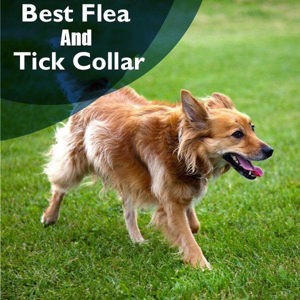 Tick-Collar-for-dogs